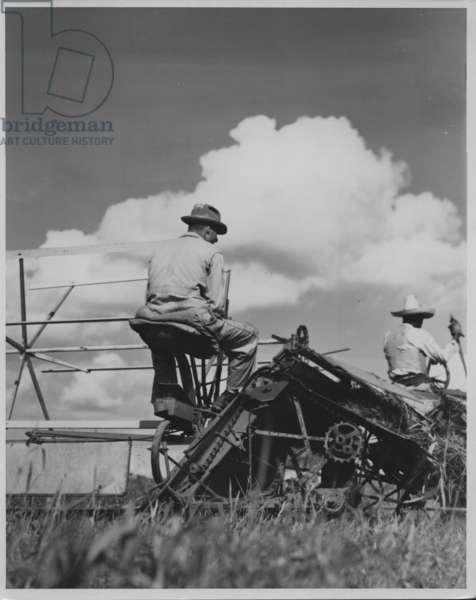 Cutting Sorghum, 1935-36 (b/w photo)