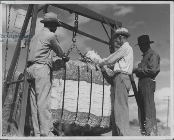 Sampling Cotton, 1935-36 (b/w photo)