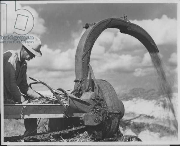 Crushing sorghum for a silo, Austin, Texas, 1935-36 (b/w photo)