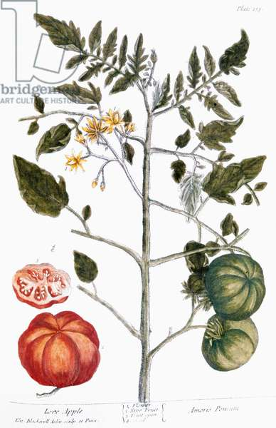 TOMATO PLANT, 1735 Tomato (poma amoris). Line engraving by Elizabeth Blackwell from her book 'A Curious Herbal' published in London, 1735.