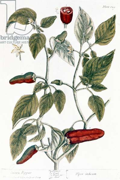 CHILI PEPPER, 1735 Line engraving by Elizabeth Blackwell from her book 'A Curious Herbal' published in London, 1735.