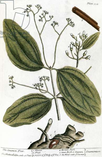 CINNAMON TREE, 1735 Engraving by Elizabeth Blackwell from her book 'A Curious Herbal' published in London, 1735.