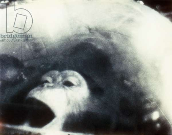 NASA CHIMPANZEE, 1961 Ham, a four-year-old male chimpanzee trained by NASA scientists, photographed during his flight in space on the Mercury-Redstone 2 mission, 1961.
