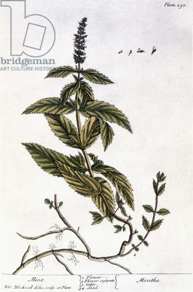 MINT PLANT, 1735 Mint (mentha). Line engraving by Elizabeth Blackwell for her book 'A Curious Herbal' published in London, 1735.