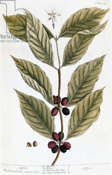 COFFEE PLANT, 1735 Engraving by Elizabeth Blackwell from her book 'A Curious Herbal' published in London, 1735.