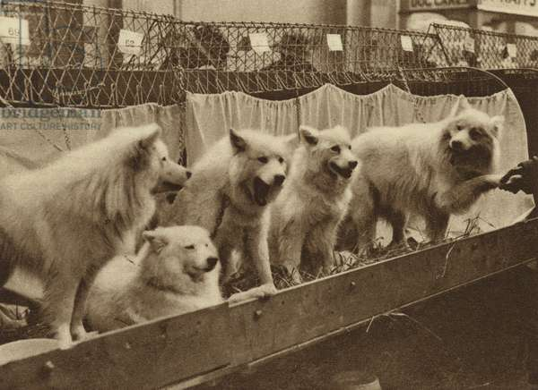 A party of white Chows at a Crystal Palace dog show (b/w photo)