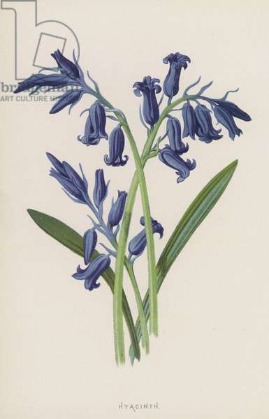 Hyacinth (chromolitho)