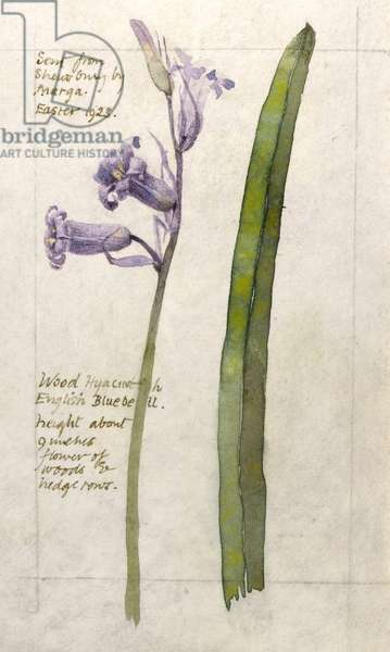 Botanical Sketchbook -- Wood Hyacinth