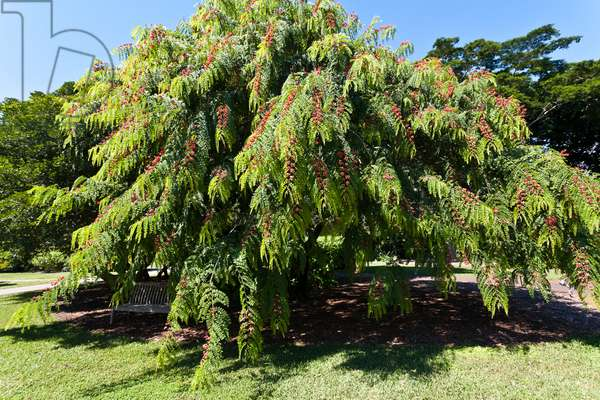A large tree at Fairchild Tropical Botanical Gardens (photo)