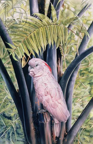 Salmon-crested Cockatoo, 1988 (gouache on paper)