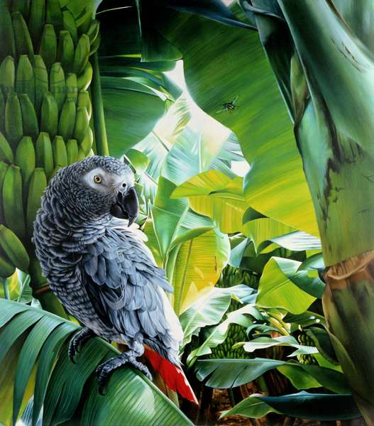 African Grey Parrot, 1990 (acrylic on canvas)