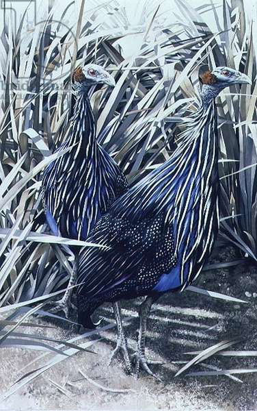 Vulturine Guinea Fowl, 1988 (gouache on paper)