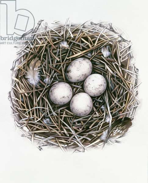 Accipiter Gentilis (Goshawk), 2000 (gouache and pencil on paper)