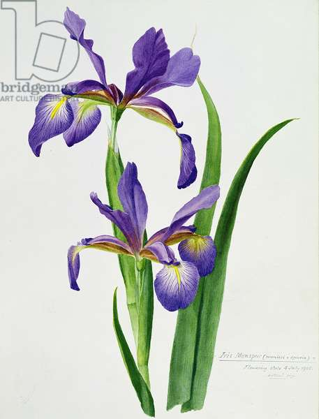 Iris monspur (watercolour)