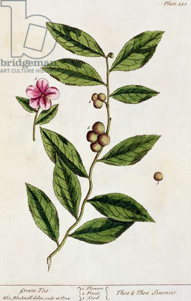 Green Tea, plate 351 from 'A Curious Herbal', published 1782 (colour engraving)
