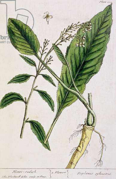 Horseradish, plate 415 from 'A Curious Herbal', published 1782 (colour engraving)