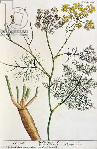 Fennel, plate 288 from 'A Curious Herbal', published 1782 (colour engraving)