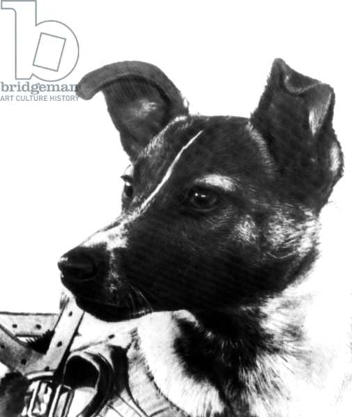 Laika russian fox terrier dog, and in the night of 3 to 4 november 1957, russians sent her in the space in Souptnik II