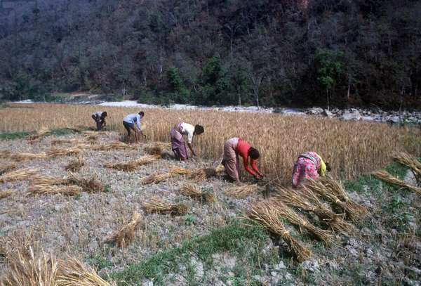 Nepal. Kathamdu valley. Villagers harvesting a wheat field.  (photo)