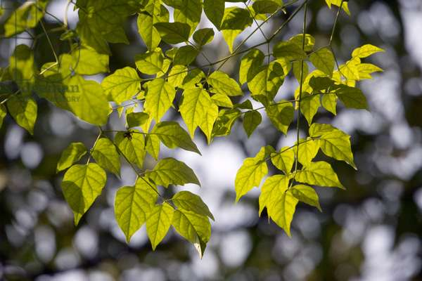 Leaves and sunlight. Thailand, January 16, 2007.  (photo)