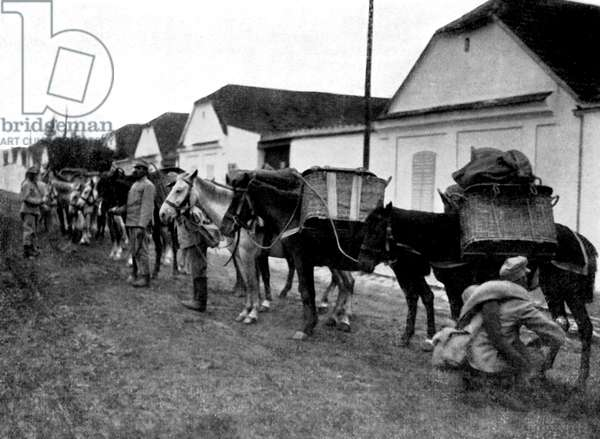 World War 1: Austro- Hungarian War Horses